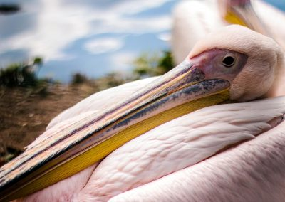 Artis Zoo - Pelican Close Up