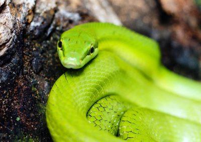 Artis Zoo - Emerald Viper