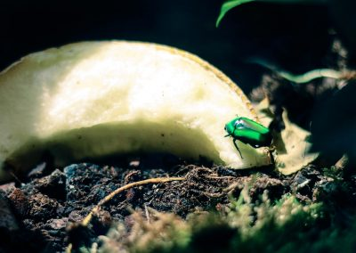 Artis Zoo - Emerald Beatle