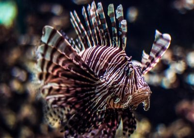 Artis Zoo - Lionfish