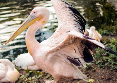 Artis Zoo - Pelican