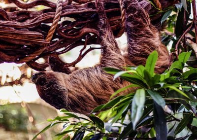 Artis Zoo - Sloth