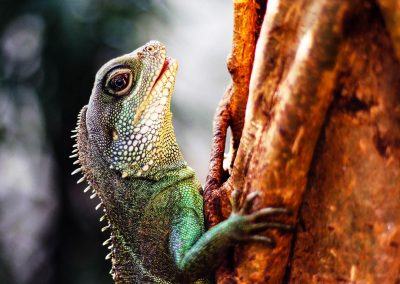 Artis Zoo - Lizard