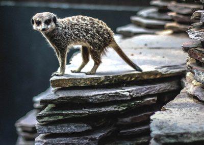 Artis Zoo - Meerkat