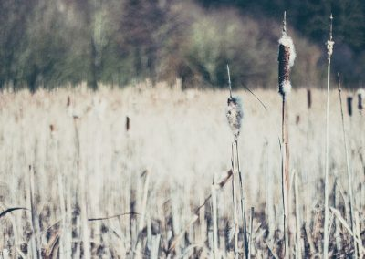 Hinchingbrooke Park landscape full of reeds